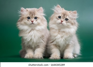 A group of two British longhair chinchilla kittens, blue gold with green eyes on a dark green background, staring intently at the camera