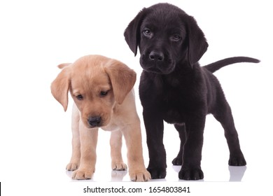 group of two labrador retriever looking down and standing isolated on white background