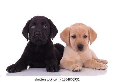 group of two labradors retrievers laying down and looking up, isolated on white background