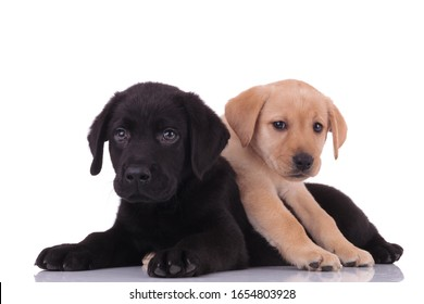 group of two labradors retrievers looking to side and laying down on top on white background