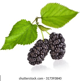 Group of two ripe fresh berries  mulberries with blackberry plant leaves. close up macro shot, Isolated on white background