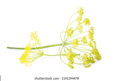 Group of two whole fresh yellow dill flowers clusters isolated on white