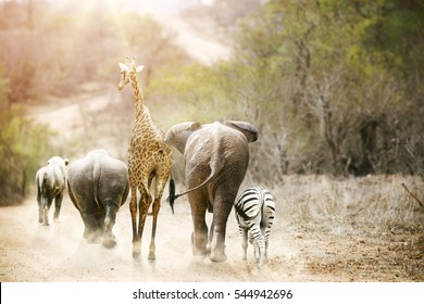 Group of unlikely South African safari animal friends walking away down a path together in Kruger National Park at sunrise.