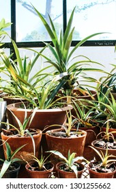 A group of various Aloe succulent plants standing in a bright sunroom