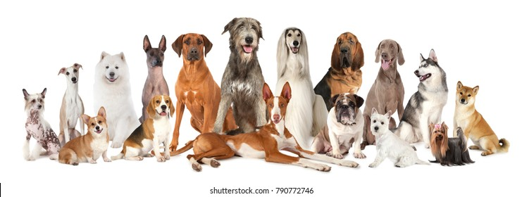 Group of various kind of purebred dogs sitting and lying next to each other looking up isolated on a white background