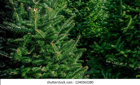 Group of various types of real evergreen Christmas trees on display for sale at seasonal live tree lot.
