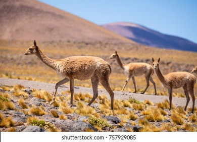 A group of vicunas is grazing in the high altiplano of Chile, in the Atacama area