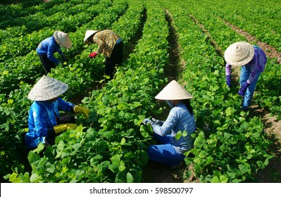 Group of Vietnamese woman working on agriculture field on day, Asian farmer  work hard to take care plant for new crop at Mekong Delta countryside, Vietnam
