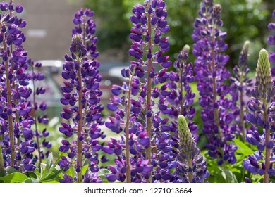 Group of violet lupins are growing in the spring garden. Lupinus perennis.