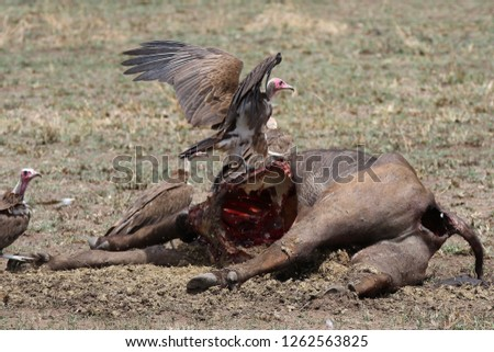 Group of Vulture eating