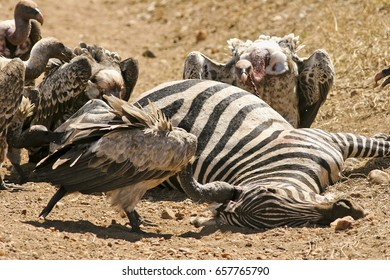 A group of vultures eat a zebra carcass in the savannah in a natural African park