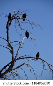 Group of vultures perched bare tree branches, Kern River wildlife, Bakersfield, California.