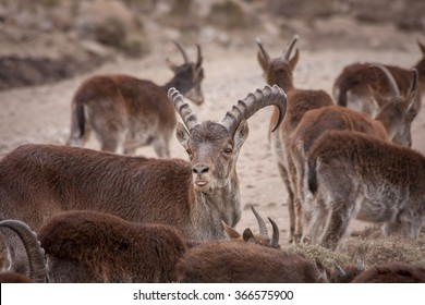 Group of Walia Ibex - Male looking to camera in Simian mountains, Ethiopia