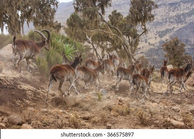 Group of Walia Ibex running away in Simien mountains, Ethiopia