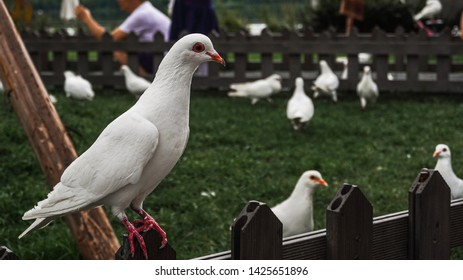 A group of walking doves