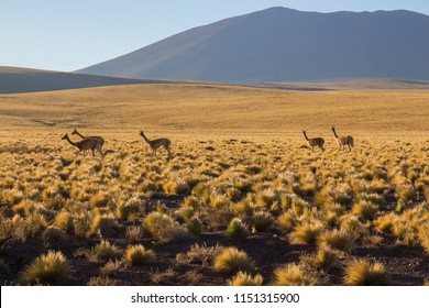 Group of Vicuñas walking on a sunny morning