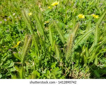 Group of wall or false barley Hordeum murinum growing in meadows of Arousa Island
