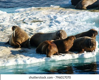 Group of walrus cow and calf on ice. North Pole, Arctic ocean.
