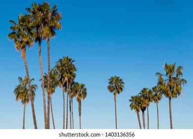 A group of Washingtonia robusta palm trees in San Diego, California.