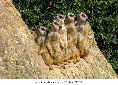 Group of watching Meerkats outdoor. Young Meerkats, Family of Meerkats. (Suricata suricatta)