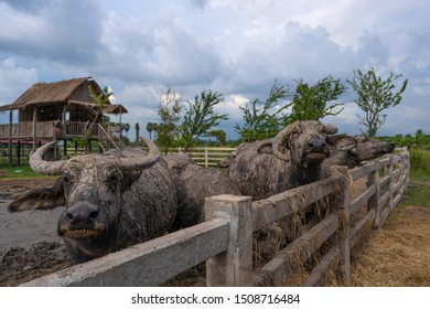 Group of water buffalo in a stall at countryside Thailand