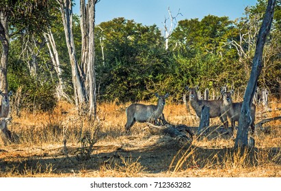 Group of Waterbucks relaxing and staring in to camera in Zambia