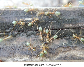 Group of weaver ants cooperating on a project on a log in Northern Queensland