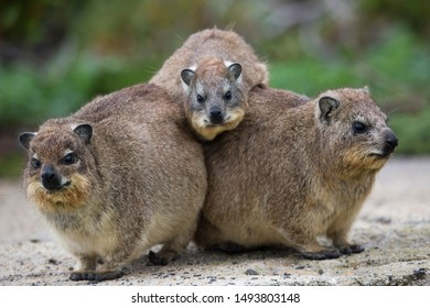group of wet rained Dassie or rock hyrax, Procavia capensis, trying to warm up and dry close to each other