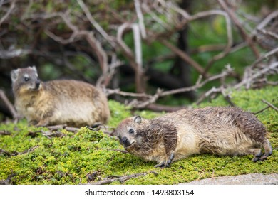 group of wet rained Dassie or rock hyrax, Procavia capensis, trying to warm up and dry