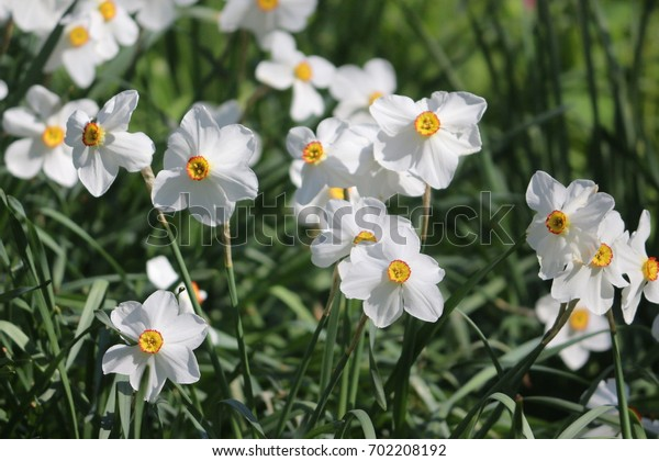 Group of white  Anemone flower in the garden