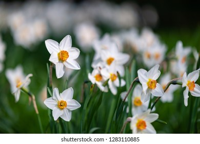 Group of white daffodils in the park in the city