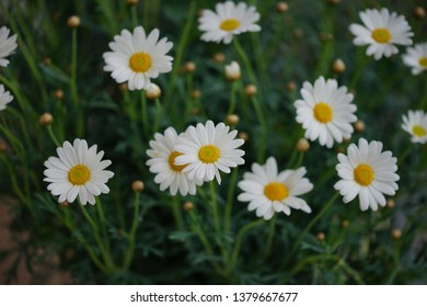 group of white daisy flowers