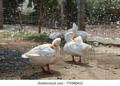 a group of white duck