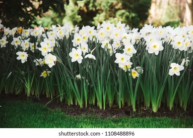 Group of White Flowers in Flower Bed, Amsterdam, Holland, The Netherlands
