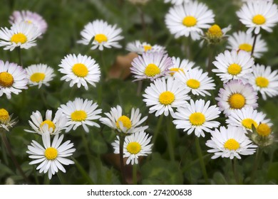Group of white flowers in a praire