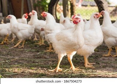 group of white free range chicken,broilers