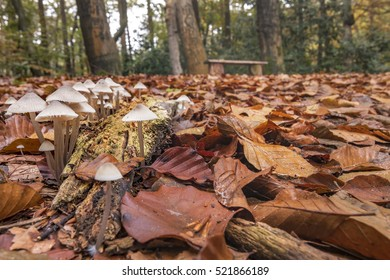 Group of white fungus foreground and bench in autumn forest background