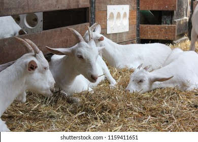 Group of white goats laying in a barn full of hay