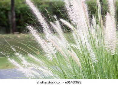 group of white grass, long leaf of grass and sunlight