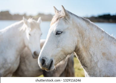 Group of white horses in Camargue, France near Les salines of Villeneuves Lès Maguelone, Montpellier, France