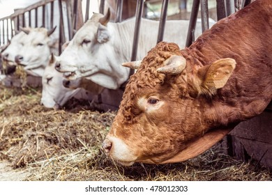 A group of white Marchigiana cows eating hay in biological stable