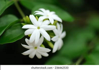 Group of white Sampaguita Jasmine or Arabian Jasmine