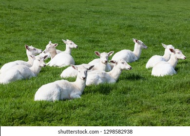 A group of white Seneca deer resting on green spring grass in the sunshine.