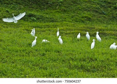 A group white stork on the grass.