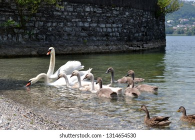 Group of white swans, gray young cygnets and brown ducks swimming along the lakeshore at the Garlate lake near Lecco in a sunny summer day with old stones wall in background.