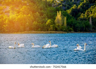 A group of white swans in the lake with sun flare, Skradin, Croatia