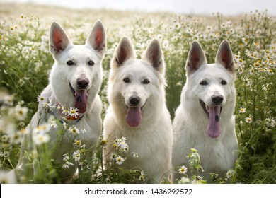 group of white swiss shepherd dogs in daisy chamomile field