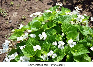 Group of white Viola canadensis in sunny weather. Spring, summer fresh white flowers in the garden. Beautiful Viola canadensis flowers background in the nature. Canadian or Canada white viola flowers.