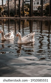 Group of white-Grey geese swimming on a lake in a public park