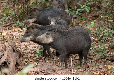 White-lipped Peccary Images, Stock Photos & Vectors | Shutterstock
